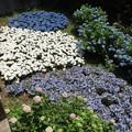 三色紫陽花