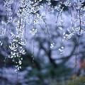 Photos: 桜巡礼`12'(身延、久遠寺、ラスト編)-2