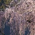 Photos: 桜巡礼`12'(身延、久遠寺、ラスト編)-6