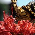 彼岸花の季節`15-3