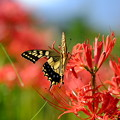 彼岸花の季節`15-5