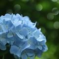 Photos: 明月院ブルー