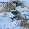 雪中のアオジ