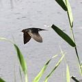 Photos: 飛燕、矢の如し