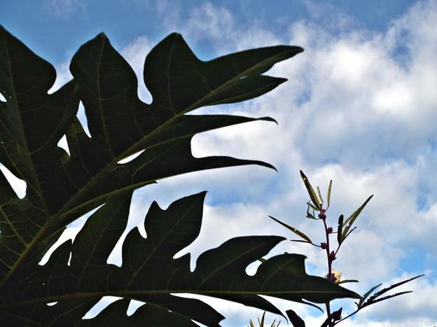 パパイアの葉