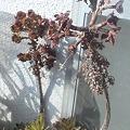 写真: 黒法師、去年の花芽がまだ居残ってるけどこれどうしたら
