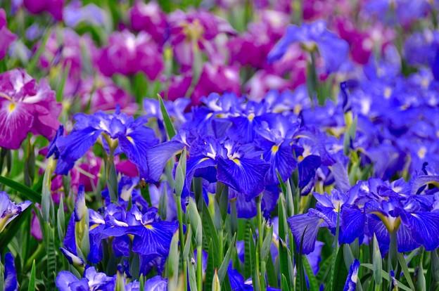 横須賀しょうぶ園の花菖蒲。。6月13日
