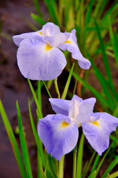 爽やかに咲く花菖蒲。。横須賀しょうぶ園 6月13日