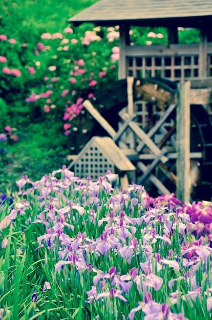 水車と花菖蒲。。横須賀しょうぶ園 6月13日