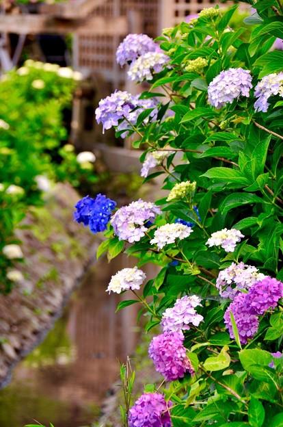 横須賀しょうぶ園の水辺に咲く紫陽花。。6月13日
