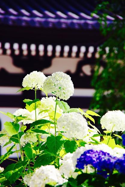 梅雨の晴れ間のアナベル紫陽花。。長谷寺 6月20日