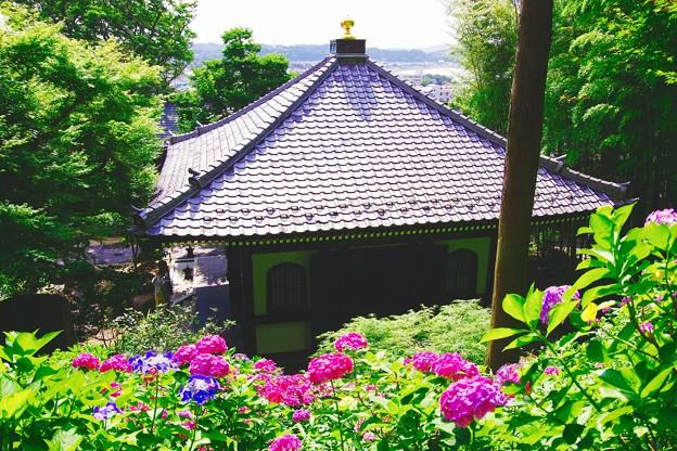 晴れた長谷寺の紫陽花。。6月20日