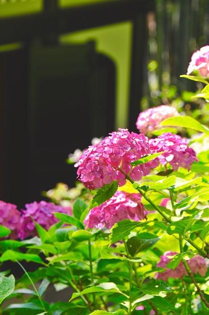 朝の長谷寺。。太陽を浴び紫陽花。。6月20日