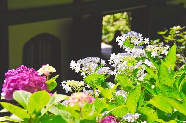 長谷寺の紫陽花。。梅雨もお休み。。6月20日