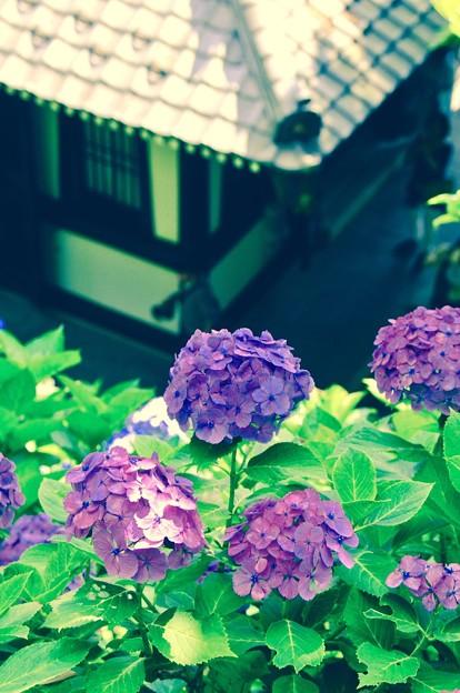 アジサイから見る長谷寺。。6月20日