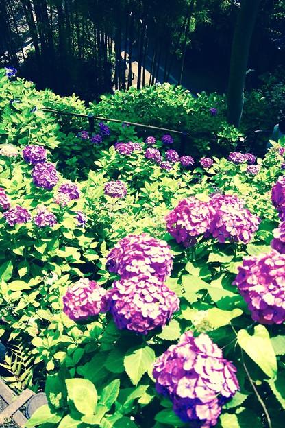 梅雨だけど晴れ間に咲き誇る長谷寺の紫陽花。。6月20日