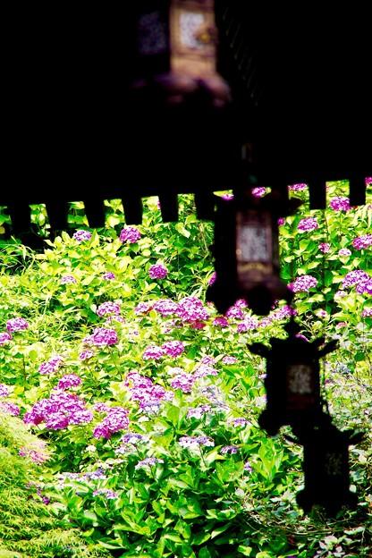 長谷寺の灯籠と紫陽花。。6月20日