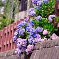 佐原の町の川沿い咲く紫陽花。。7月11日