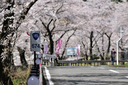 下北山村の桜・3