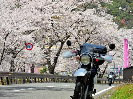 下北山村で桜ツーリング・5