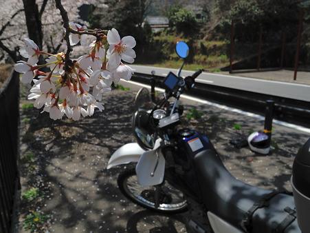 下北山村で桜ツーリング・7