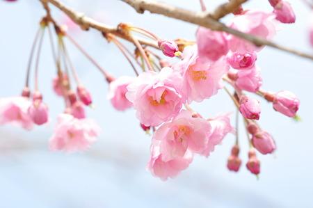 河村瑞賢公園桜2