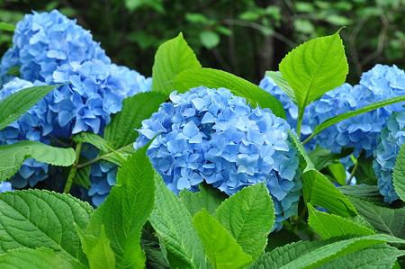 河村瑞賢公園の紫陽花・4