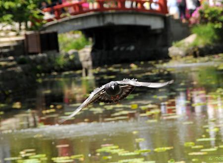 752_鎌倉の鳩