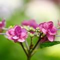 Photos: 6月14日 紫陽花まつり