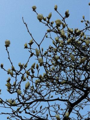 銀座にもコブシの花が春を告げ