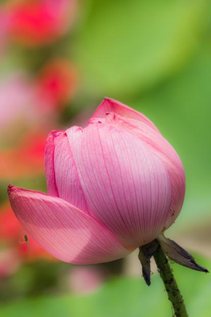 藤井養蜂場の蓮の花♪