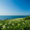 写真: 夏井ヶ浜のはまゆう♪