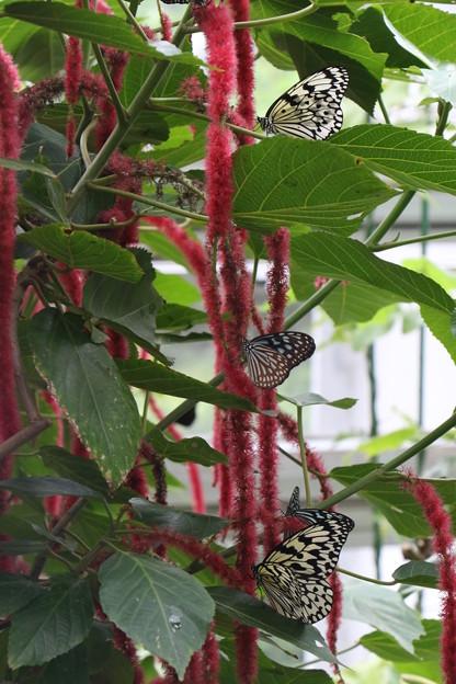 蝶さんに人気のベニヒモノキ