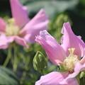 Photos: ピンクのムクゲ