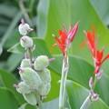 Photos: タンドクの赤い花と緑色の実