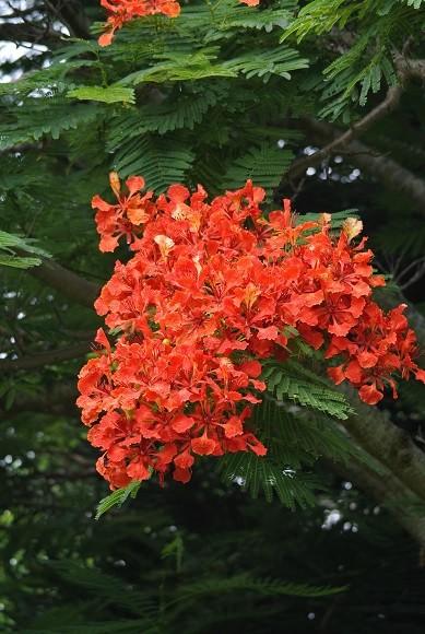 ホウオウボクの花真っ盛り