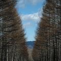 Photos: からまつの並木道