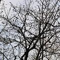 世田谷の桜 (もうすぐ咲く気配)