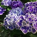 写真: 紫陽花(CI:雅)